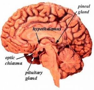 pinealgland1-300x288